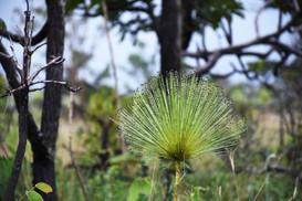 Palipalan flower