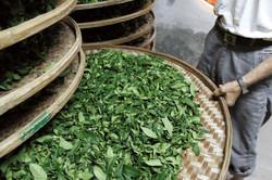 技藝示範 - 紅茶製作示範分享