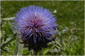 The Cardoon: In All Its Glory