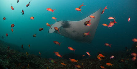 manta ray swimming in mozambique