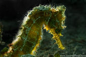 Close Up of seahorse