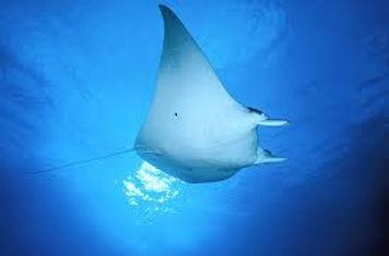underwater manta
