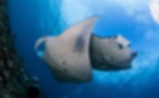 Manta rays Tofo