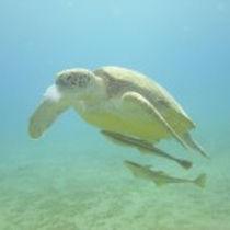 sea turtle barra