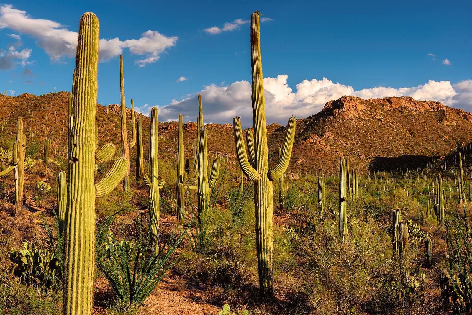 Saguaro-cacti-landscape-Sonoran-Desert-A