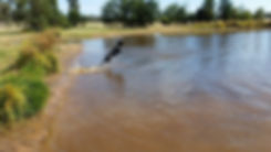 Black dog jumping into dam water.jpg