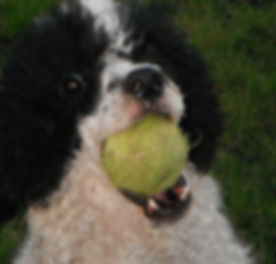 black and white dog with tennis ball in