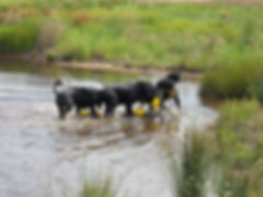 3 black dogs walking out of the water ca