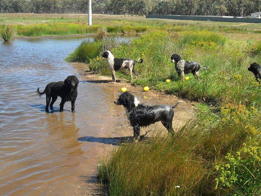Dogs standing around a dam.jpg