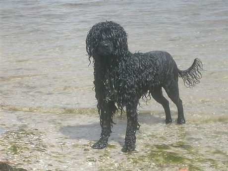 black dog in lion trim posing by the oce