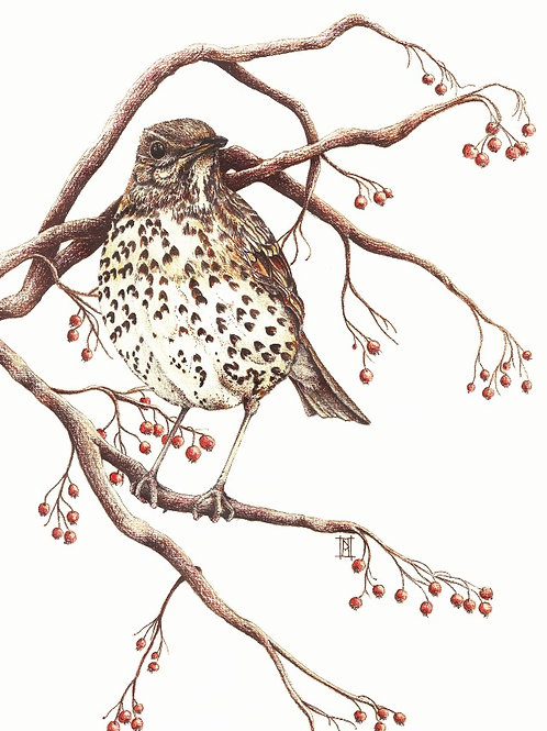 Song of the Thrush - Thrush Bird