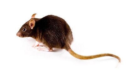 main_rat-vs-mouse-2.jpg