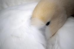 Sleepy Swan