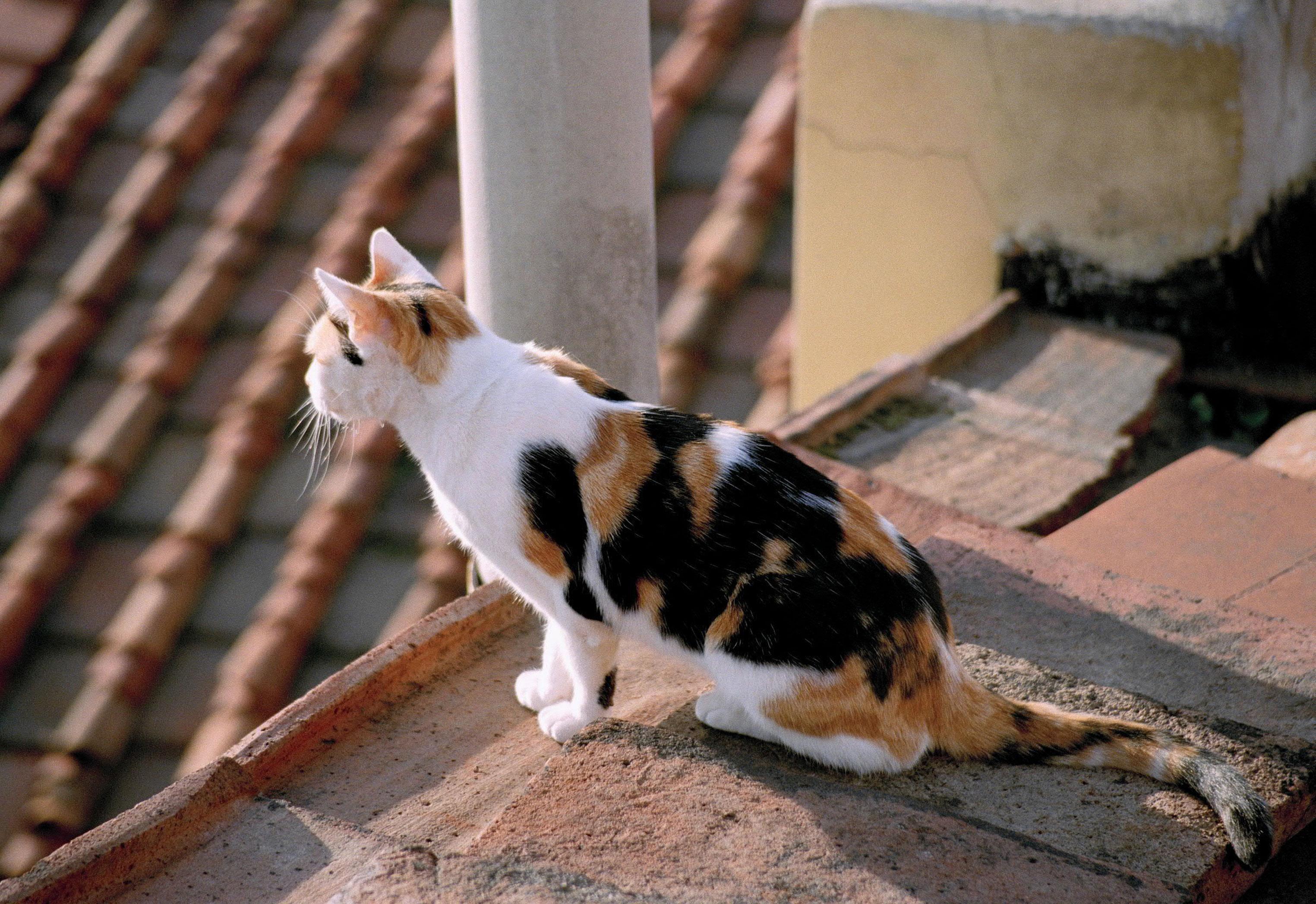 Florentine Feline