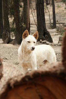 Bruce's Dingo