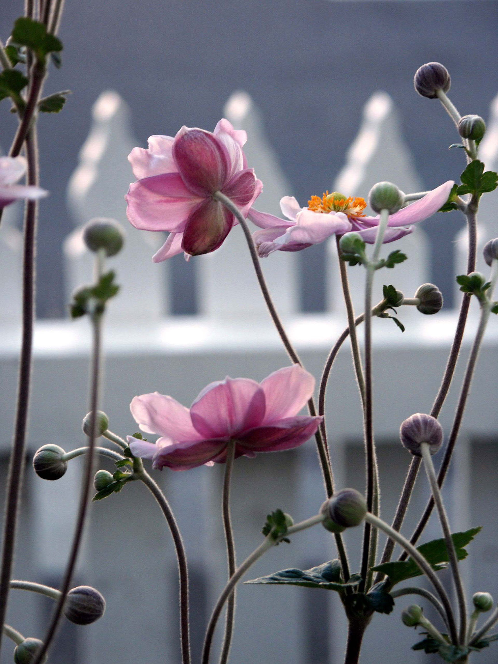 Japanese Windflowers