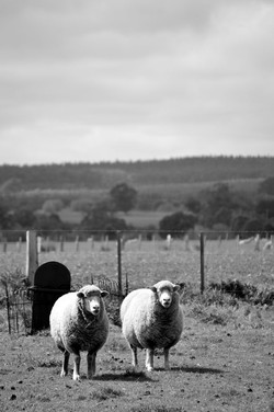 Guardian Sheep