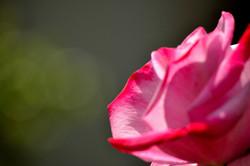 Dad's Rose