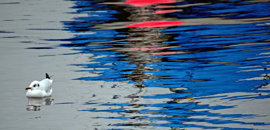 Gull with Reflections