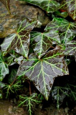 Glistening Ivy