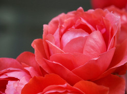Coral Red Roses