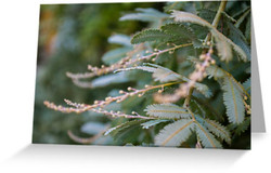 Young Wattle