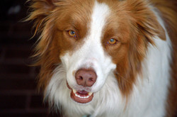 Beautiful Border Collie