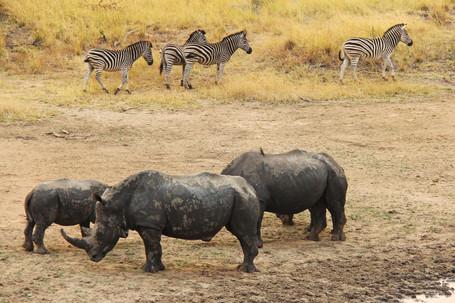 Game Rhinos