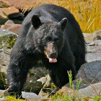 Black bear gorging on salmon near Kenai Peninsula, Alaska