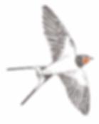 scheda_balestruccio-rondine-2.png