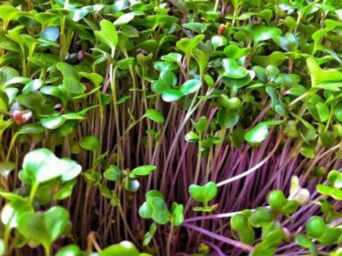 Kahlrabi micro green