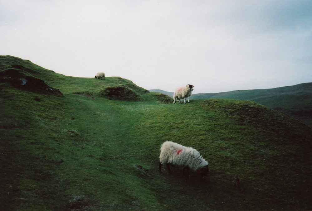 3 sheep grazing on a green hill located on the Isle of Skye, Scotalnd