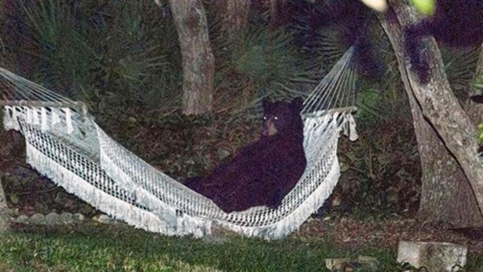 black bear laying in a white hammock, surrounded by trees and small palms