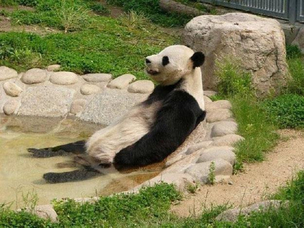 panda laying in a small zoo pool surrounded by grass