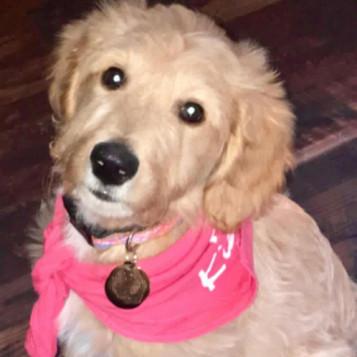Sophia's Goldendoodle
