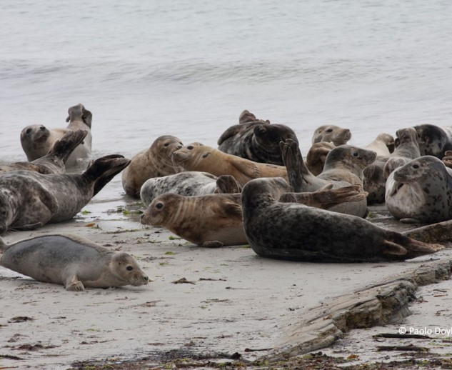 North Ronaldsay seals on the shore