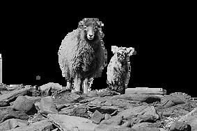 North Ronaldsay Ewe and Lamb copy.png