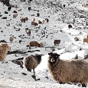 Feb '21 - Snow Sheep