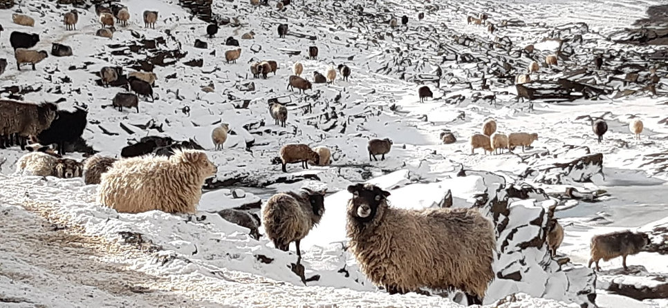 North Ronaldsay sheep in the snow Feb 2021