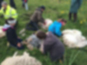 North Ronaldsay Sheep Festival