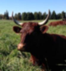American Milking Devon Cow