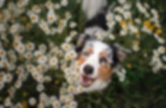 dogs and essential oils - good and bad oils