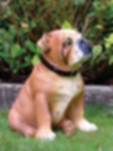 Bulldog - Lifelike.png