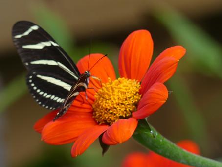Butterfly Catnip
