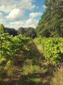 Grolleau vineyard in Loire