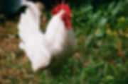 Chicken Spells , Shadezofblack.com