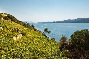 vignes-tomant-dans-la-mer.jpg