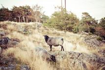 Mouton en libéerté à Pilane
