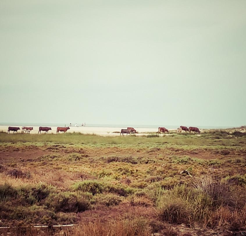 Un troupeau de vache s'invite sur la plage