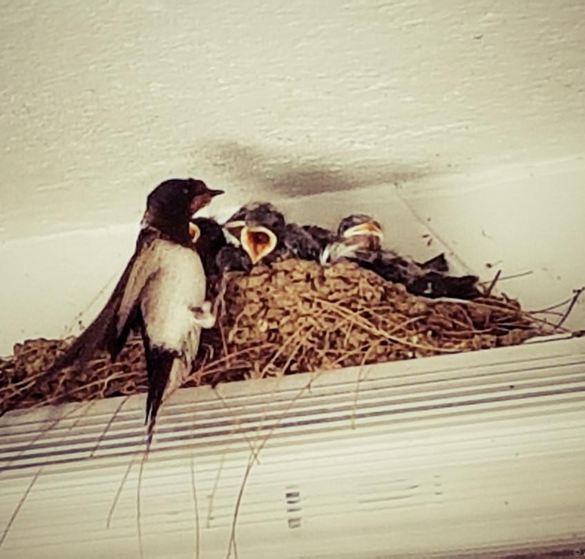 Une famille d'hirondelles s'est installé dans les sanitaires du camping